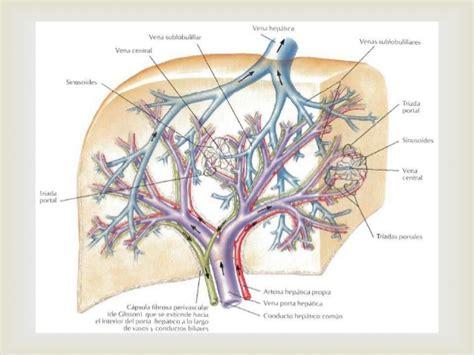 vena porta epatica higado pancreas bazo y vena porta
