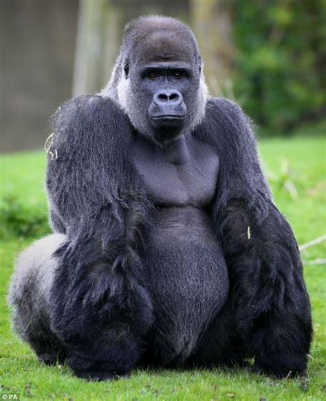 gorilla ambam the gorilla who walks like a man celebrates his 24th