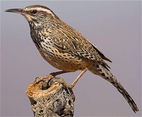 cactus wren campylorhynchus brunneicapillus birds that