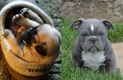 pug and pitbull poll archives 3milliondogs