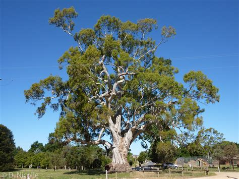 eucalyptus trees eucalyptus camaldulensis river red gum growth rate