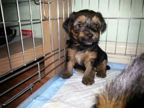 why does my dog pee and poop in the house toilet training yorkshire terrier puppies