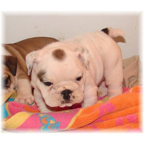 free puppies in md pets catonsville md free classified ads