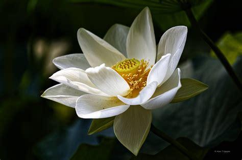white lotus dragonfly neihtn
