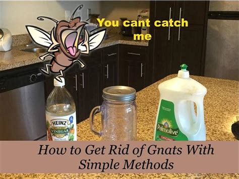how to get rid of gnats with simple methods authorstream