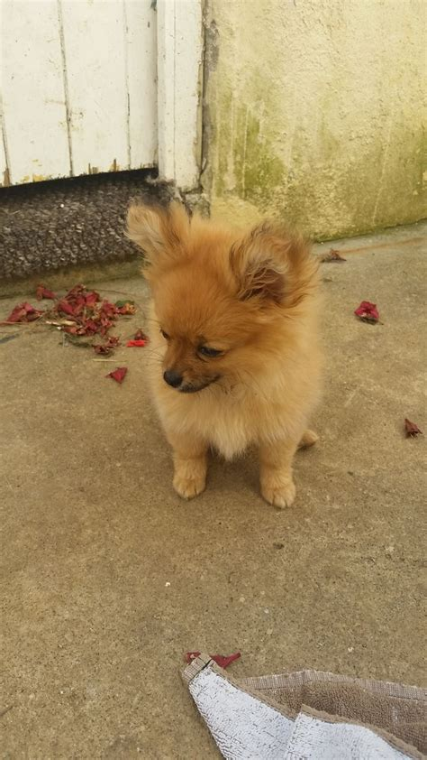 6 month pomeranian puppy the shiranian is a shih tzu pomeranian cross breeds picture