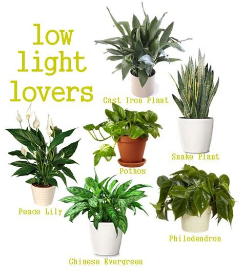 no light plants indoor plants for the home pinterest low lights