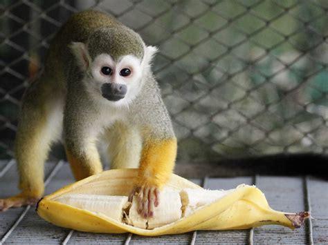monkey and stop feeding your monkeys bananas business insider