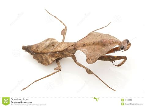 Malaysian Dead Leaf Mantis Royalty Free Stock Image ...