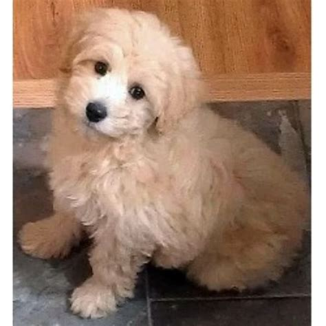 schnoodle puppies rescue shelbo schnoodles schnoodle breeder in isanti minnesota listing id 19333