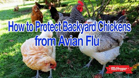 Backyard Chickens Avian Flu How To Protect Backyard Chickens From The Avian Flu