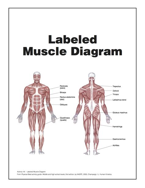simple diagram with labels simple diagram simple muscular system simple