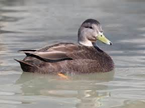 North American Backyard Birds North American Duck Species Quotes