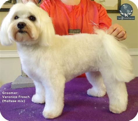 how to cut a shichons hair how to cut a shichon s hair 17 best images about shih