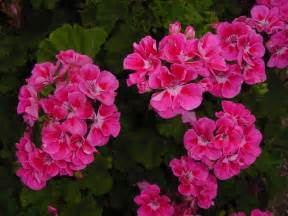geranium colors geranium color wallpaper