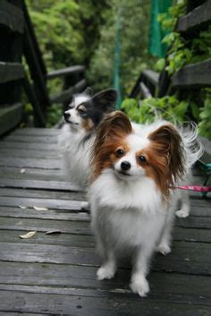 papillon low shedding highly intelligent with