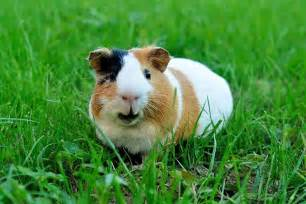 Happy Hutch Why Guinea Pigs Are The Pets You Need To Know About Petspot