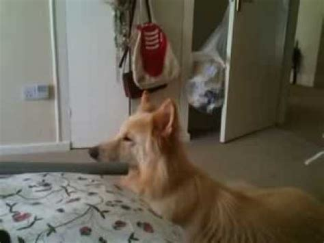 sounds dogs like my s reaction to wolf howl funnydog tv
