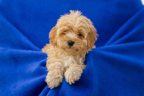 cavoodle puppies for sale cavoodle puppies for sale