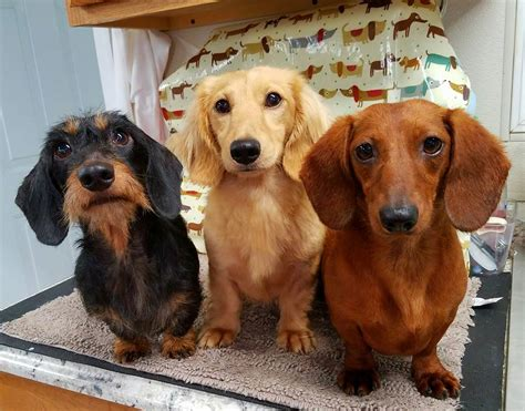 tri color dachshund dachshund breed description history and overview