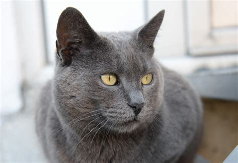 cat breed russian blue cat cat breed info pictures best sale price