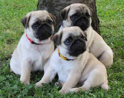 find a pug puppy 1232 best images about pug puppies on