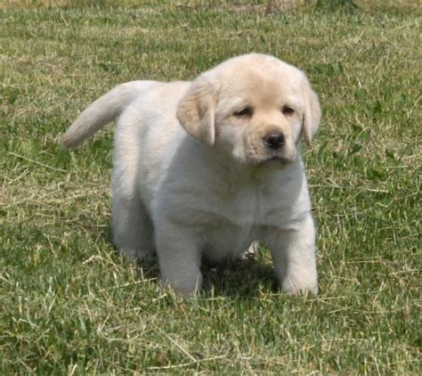 cleveland puppy for sale yellow lab puppies for sale in ohio cleveland 4 jpg 600 215 535 doggies