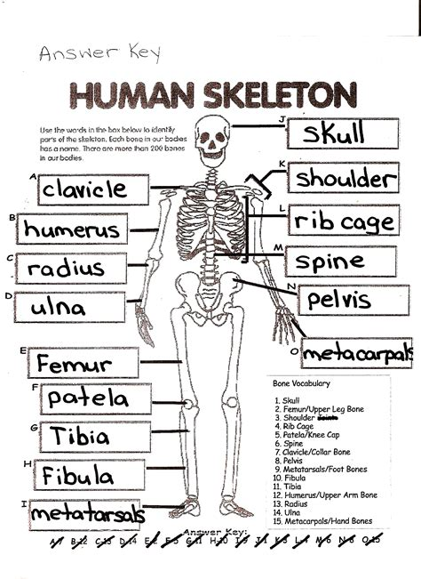 Section 36 1 The Skeletal System Answers by Pictures The Skeletal System Worksheet Answer Key Dropwin