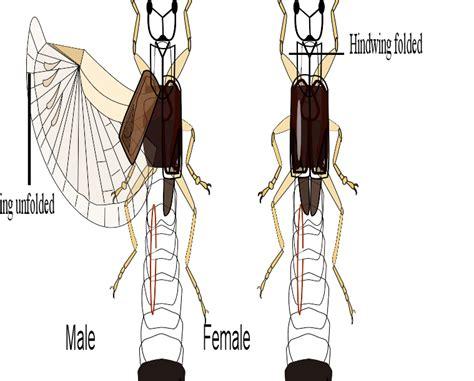 Image Gallery earwig size