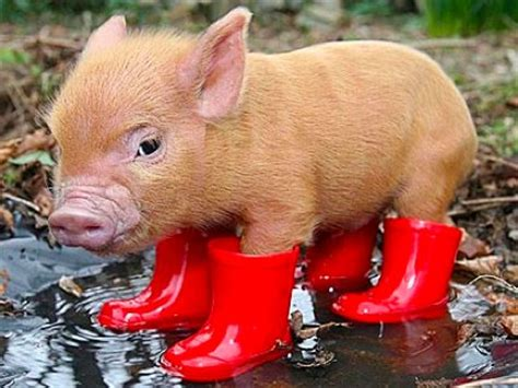 Boot Barn Black Friday Micropig In Wellies Cute Critters Pinterest