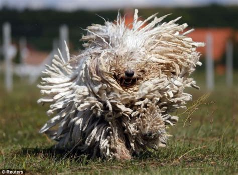 dogs that look like mops komondor pictures of hungarian sheep dogs whose coats look like mops daily
