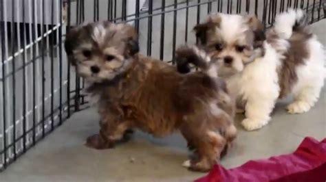 malshi puppies for sale malshi puppies for sale