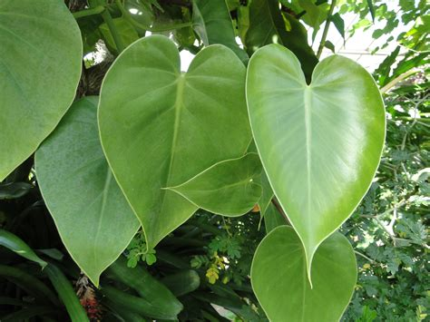 philodendron scandens heart leaf philodendron a fascinating green world