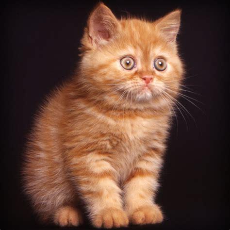gatti persiani a pelo corto curiosit 224 sul persiano e sull shorthair quattro ze