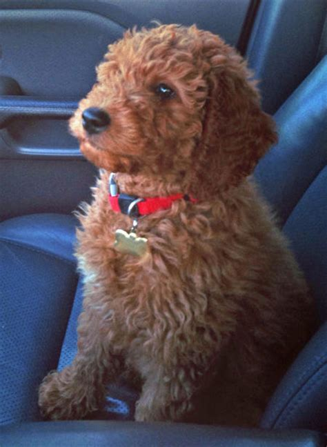 doodle rudy rudy the goldendoodle puppies daily puppy