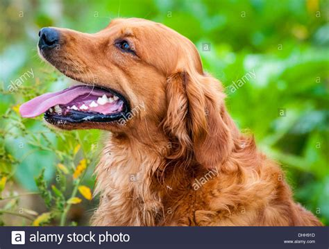 pheasant hill golden retrievers a golden retriever gun sat at a field trial day stock photo royalty free