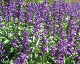 salvia flower herb flower seed salvia officinalis medicinal plants seeds 20 seeds ebay
