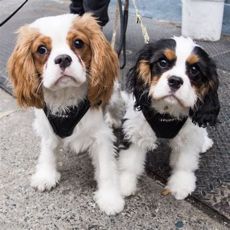cavalier king charles spaniels whats good and bad about em 1000 images about beloved souls on pinterest weimaraner