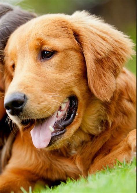 how many puppies does a golden retriever best 25 golden retriever names ideas on