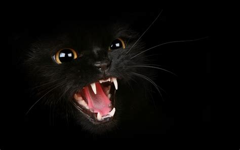 black kitty wallpaper black cats images black cat hd wallpaper and background