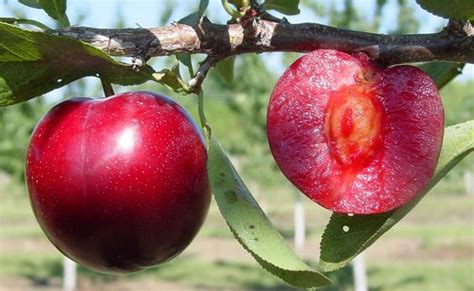 Buah Plum 13 manfaat buah plum merah untuk kesehatan khasiatsehat