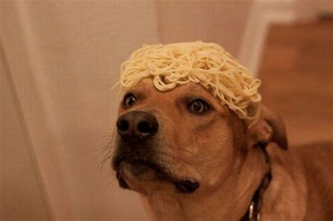 spaghetti and dogs spaghetti animal pictures