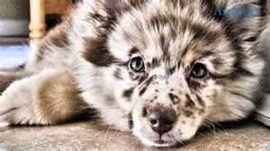 Australian Shepherd Mix Puppy » Home Design 2017
