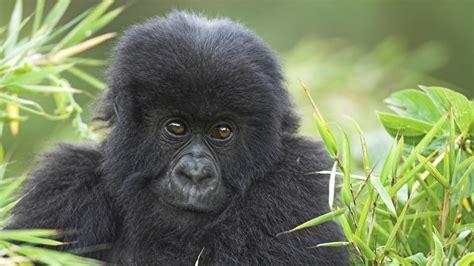Baby gorilla wallpaper | Wallpaper Wide HD
