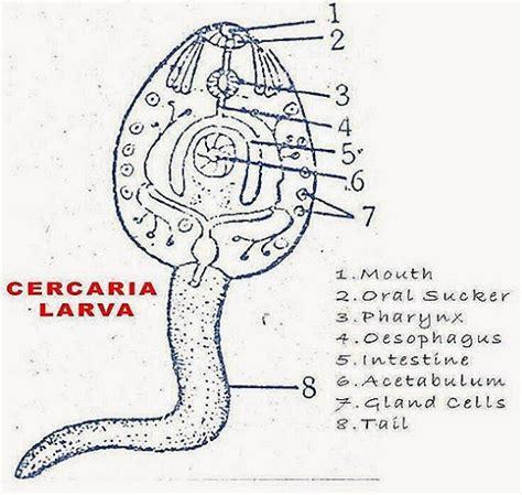 labelled diagram of fasciola hepatica fasciola hepatica diagram fasciola free engine image for