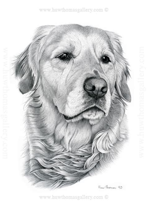 drawing of a golden retriever golden retriever drawing image mag