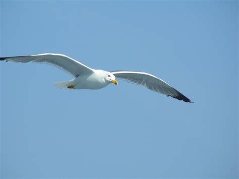 sul gabbiano pin foto gabbiano in volo sul mare on
