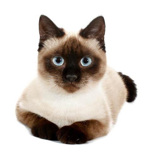 gatto siamese alimentazione siamese caratteristiche e foto