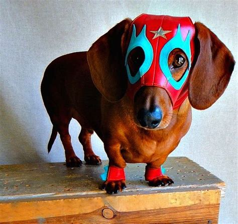 costume for dachshund the world s catalog of ideas