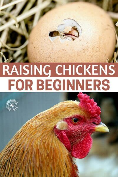 Backyard Chickens For Beginners Raising Chickens For Beginners